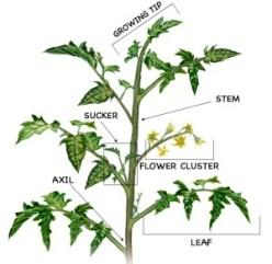 tomato-diagram-2_crop_web