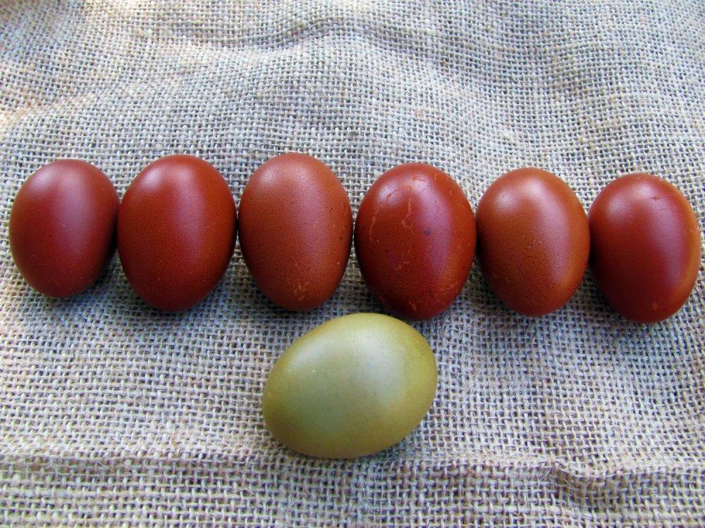 maran olive egger
